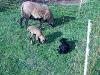 Lämmchen mit Muttertier auf der Weide