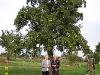 Birnbaum im Garten