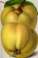 Konstantinopeler Apfelquitte