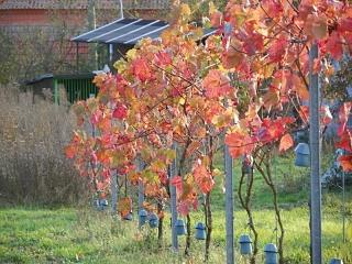 Reben im Herbstkleid