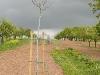 Walnussbaum gepflanzt