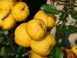 Nordische Zitrone Quitte