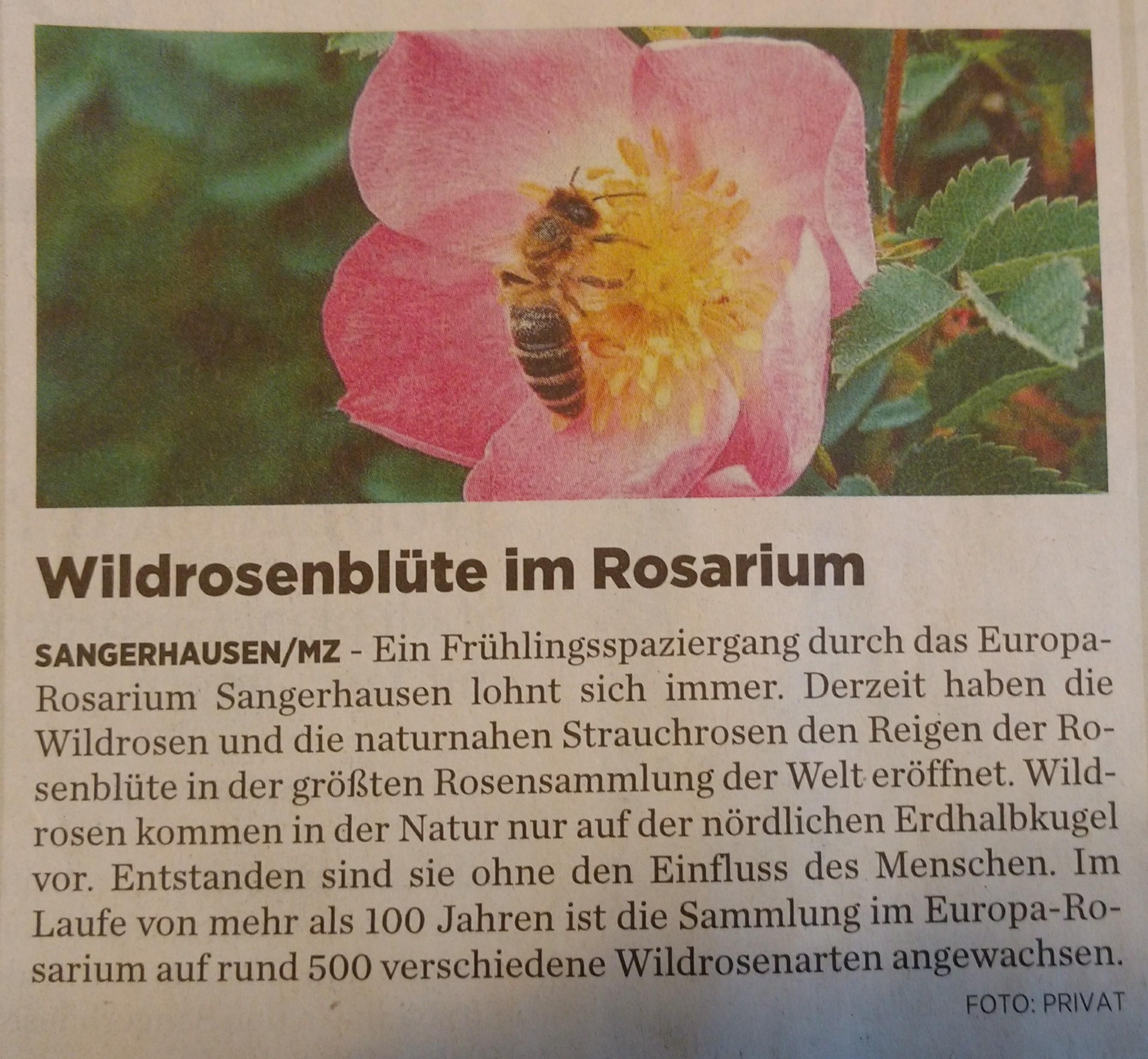 Beginn Rosenblüte im Rosarium